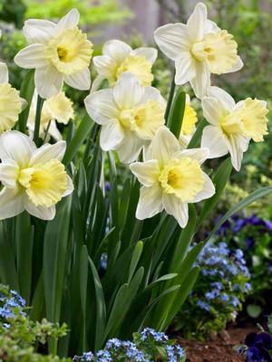 Lemon Glow Trumpet Daffodil 5 Bulbs 14/16 cm Bulbs