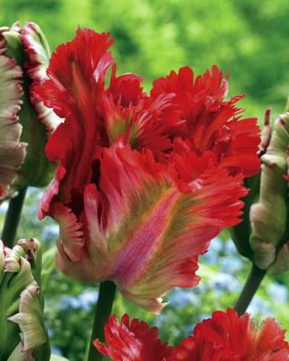 Garden Fire Parrot Tulip 6 Bulbs - EXOTIC - 12/+ cm Bulbs