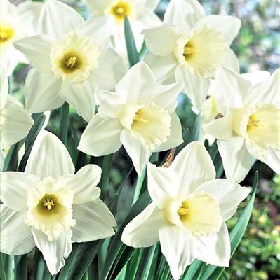 Mount Hood Trumpet Daffodil 5 Bulbs - Creamy White - 14/16cm Bulbs