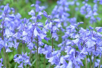 Blue Bells Hyacinthoides - 10 Bulbs - Heirloom - 8/9 cm Bulbs