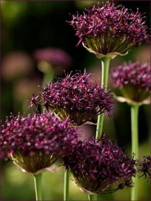 Miami Allium 8 Bulbs - 10/+ cm Bulbs - Deep Purple Blooms