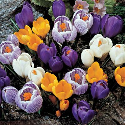 Giant Crocus Mix - 30 Bulbs - Large Flowers - 7/8 cm Bulbs - Value Pack