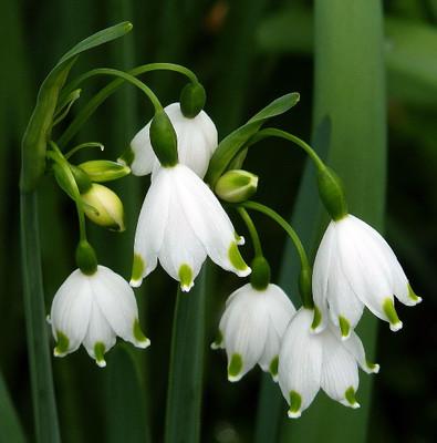 Gravetye Giant Snowdrops - 10 Bulbs - Leucojum aestivum - 10/12 cm Bulbs