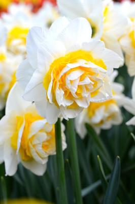 Double Star Double Daffodil 5 Bulbs - 14/16 cm Bulbs