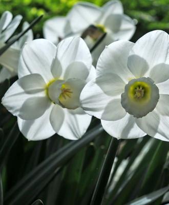Snowboard® Large Cup Daffodil - 5 Bulbs - Long Flowering Period - 14/16cm Bulbs