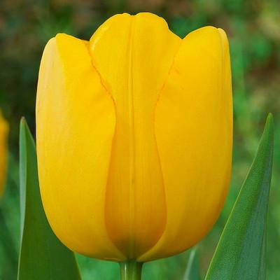 Golden Parade Darwin Hybrid Tulip - 8 Bulbs - 12/+cm Bulbs