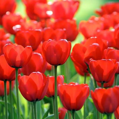 Red Impression Darwin Tulip 8 Bulbs - 12/+ cm Bulbs