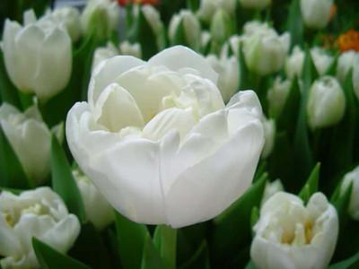 Northcap Double Early Tulip - 8 Bulbs - 12/+cm Bulbs - NEW