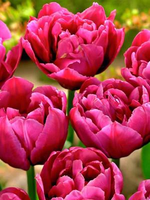 Margarita Double Early Tulip - 8 Bulbs - 12/+cm Bulbs