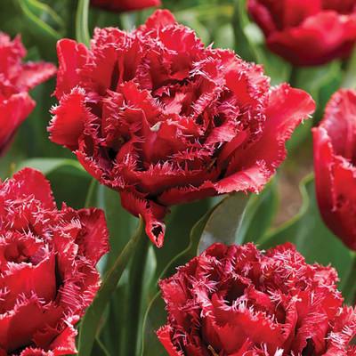 Cranberry Thistle Double Late Peony Flowered Tulip - 6 Bulbs - 12/+cm Bulbs