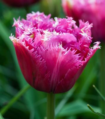 Mascotte Fringed Double Late Tulip 6 Bulbs - 12/+ cm Bulbs
