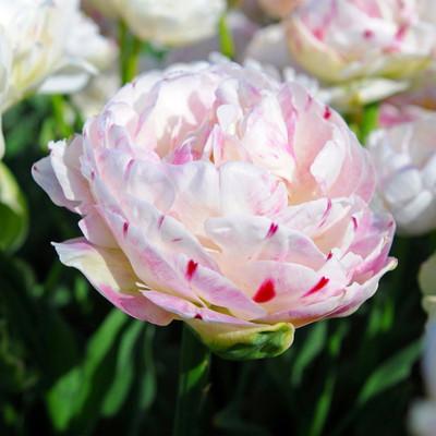Danceline Double Late Tulip 6 Bulbs - 11/12 cm Bulbs