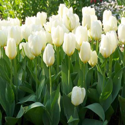 White Emperor Fosteriana 8 Tulip Bulbs - Pure White - 12/+ cm Bulbs