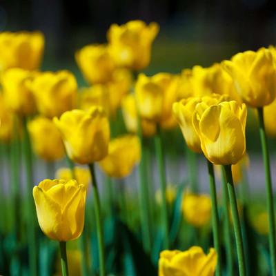 Yellow Emperor Fosteriana Tulip 8 Bulbs - 12/+ cm Bulbs