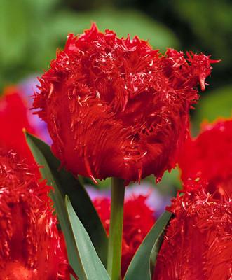 Barbados Fringed Tulip 6 Bulbs - Scarlet Red - NEW - 12/+ cm Bulbs