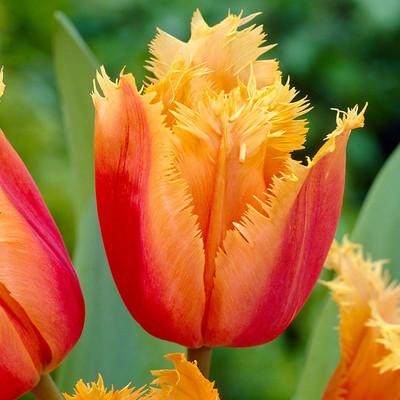 Lambada Fringed Tulip 8 Bulbs - Red/Yellow - 12/+cm Bulbs