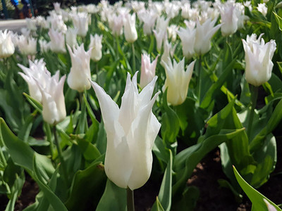 Tres Chic Lily Flowering Tulip 8 Bulbs - 12/+ cm Bulbs - Pure White