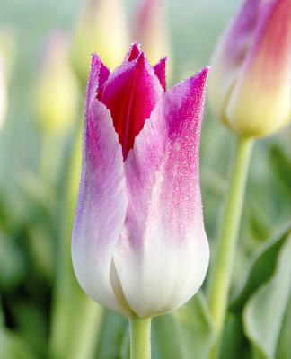 Whispering Dream Lily Flowering Tulip 6 Bulbs - 12/+ cm Bulbs - NEW