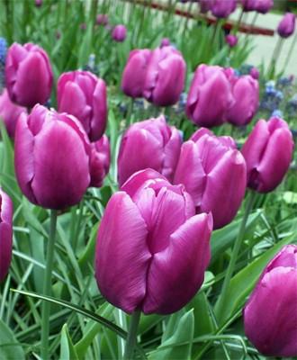 Purple Prince Single Early Tulip 8 Bulbs - 12/+ cm Bulbs