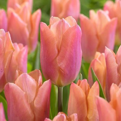 Salmon Prince Single Early Tulip - 8 Bulbs - 12/+ cm Bulbs - NEW