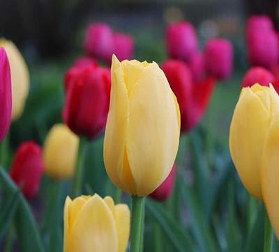 Sunny Prince Single Early Tulip 8 Bulbs - 12/+ cm Bulbs - Lemon Yellow