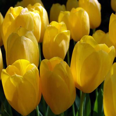 Big Smile Single Late Tulip 8 Bulbs - 12/+ cm Bulbs - Sunny Yellow Blooms