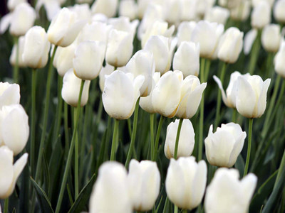 City of Vancouver Single Late Tulip 8 Bulbs - 12/+ cm Bulbs - White Blooms