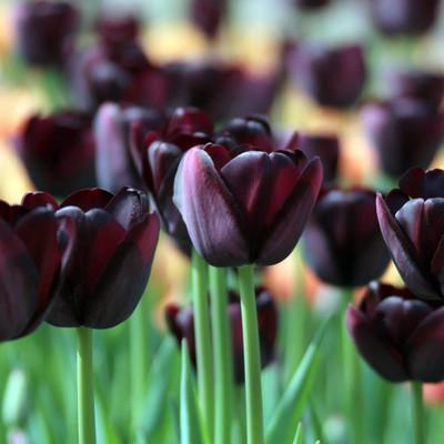Queen of Night Single Late Tulip 8 Bulbs - Almost Black - 12/+ cm Bulbs