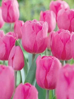 Don Quichotte Triumph Tulip 15 Bulbs - 11/12 cm Bulbs - Pink - Value Pack