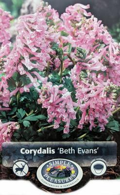Beth Evans Corydalis - Larkspur - 10 Bulbs - 6/+ cm Bulbs