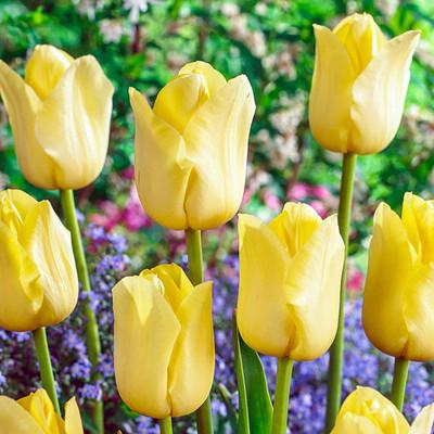 World Friendship Triumph Tulip 8 Bulbs - 12/+ cm Bulbs - Peace and Friendship