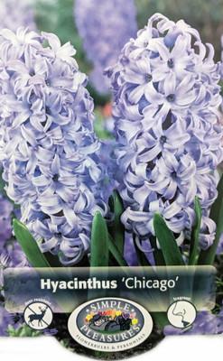 Chicago Hyacinth - 5 Bulbs - FRAGRANT - 15/16 cm Bulbs