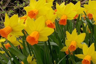 Jetfire Narcissus/Daffodil - 10 Bulbs - Red/Orange Cup - 12/14 cm Bulbs