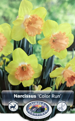 Color Run Large Cupped Daffodil - 5 Bulbs - 14/16cm Bulbs - NEW!