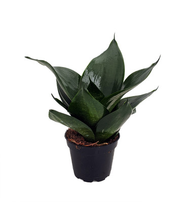"Green Jade Birdsnest Snake Plant - Sanseveria - Impossible to kill! - 2"" Pot"