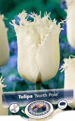 North Pole Fringed Tulip 8 Bulbs - Snowy Ivory Color - 12/+cm Bulbs