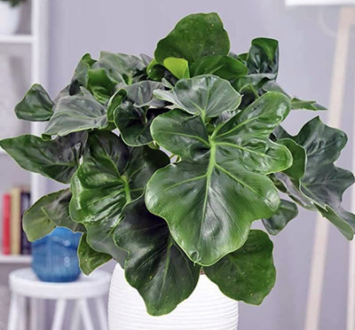 """Atom Dwarf Philodendron - Easy House Plant - 2.5"""" Pot"""