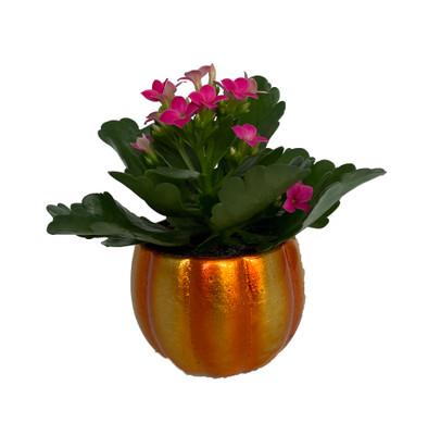 "Mini Pepo Pumpkin Planter with Pink Kalanchoe Succulent Plant- 3"" x 3"""