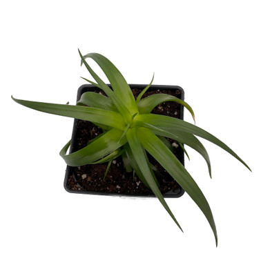 "Naked Lady Dyckia Plant - 4"" Pot - Spineless - Succulent Bromeliad"