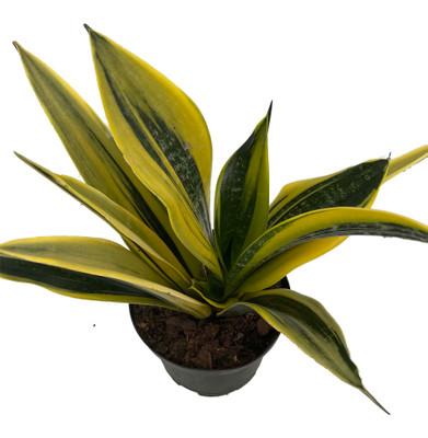 "La Rubia Snake Plant - Sansevieria - 6"" Pot - Collector's Series"