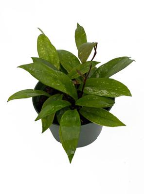 "Rare Pubicalyx Wax Plant - Hoya - Great House Plant - 6"" Pot"