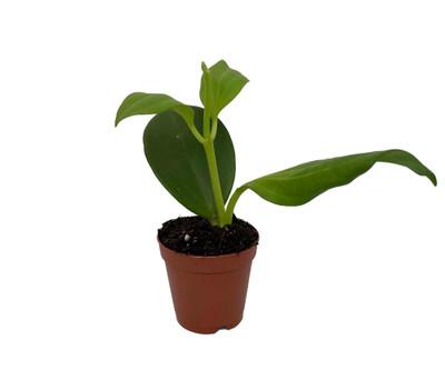 "Rare Hoya Pachyclada - Exotic Yet Easy - 2"" Pot - Collector's"