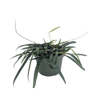 "Rare Wyatt Wax Plant - Hoya wyetti - Great House Plant - 6"" Hanging Basket"