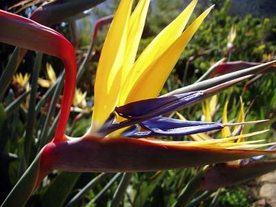 "Mandela's Gold Bird of Paradise - Strelitzia - Elegant - Rare - 4"" Pot"