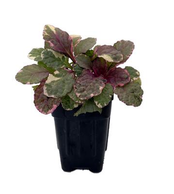 "Burgundy Glow Ajuga Plant - 2.5"" Pot - Carpet Bugle - Hardy Ground Cover"