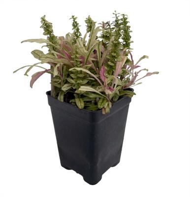 """Multicolor Ajuga reptans - 2.5"""" Pot - Carpet Bugle - Fairy Garden"""