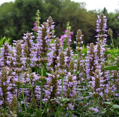 Silver Blue Kudos Hummingbird Mint- Agastache- Anise Hyssop - Gallon Pot