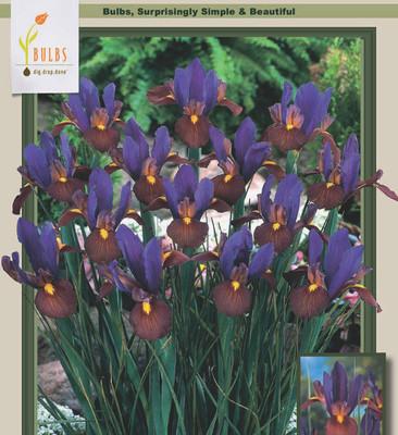 Eye of the Tiger Dutch Iris 10 Bulbs - Multiply Rapidly - 7/8 cm Bulbs