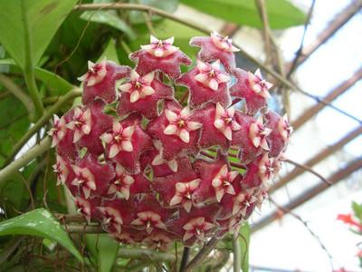 "Rare Pubicalyx Wax Plant - Hoya - Collector's Series - 2"" Pot"