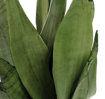 """Moonshine Snake Plant - Sanseveria - Almost Impossible to kill - 5"""" Pot"""